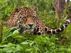 В районе Сочи хотят выпустить на свободу 50 леопардов